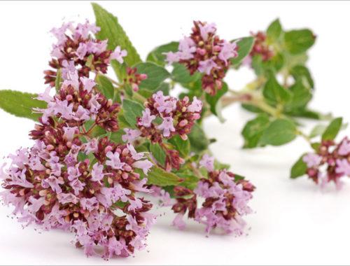 Лечебные свойства травы душицы